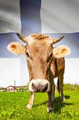 Cow With Flag On Background Series - Finland