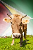 Cow With Flag On Background Series - Guyana