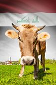 Cow With Flag On Background Series - Iraq