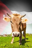 Cow With Flag On Background Series - Jordan