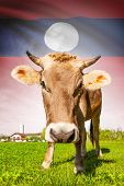 Cow With Flag On Background Series - Laos