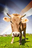 Cow With Flag On Background Series - Marshall Islands