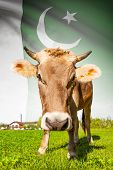 picture of pakistani flag  - Cow with flag on background series  - JPG