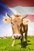 Cow With Flag On Background Series - Puerto Rico