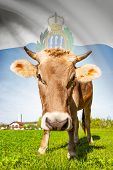 Cow With Flag On Background Series - San Marino