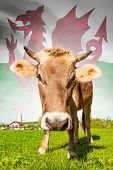 Cow With Flag On Background Series - Wales