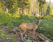 picture of mule deer  - Young mule deer with forest in the background - JPG