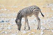 Wet Zebra Foal