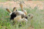 Male Lion Lying On It's Back