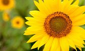 Beautiful sunflower closeup with yellow leaves