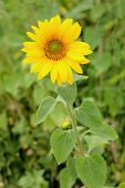 One big and beautiful sunflower with bright yellow