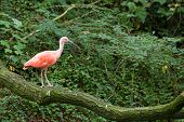 Scarlet Ibis Standing On Branch