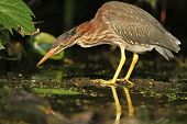Juvenile Green Heron Stalking Its Prey