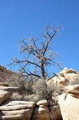 Dying Tree Joshua Tree