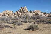 Joshua Trees And Boulders