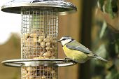 Blue tit on the feeding place