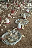 foto of poultry  - View of a poultry farm showing chicks and their feeders - JPG