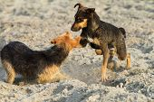 stock photo of mongrel dog  - feral dogs playing on the beach mongrels - JPG