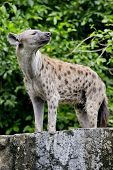 stock photo of hyenas  - close up of a Hyena animal wildlife on nature background - JPG