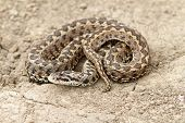 Meadow Adder On Ground
