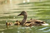 picture of baby duck  - mother mallard duck with babies on the lake  - JPG