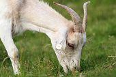 White Goat Grazing
