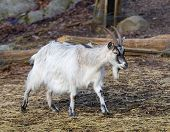 White Goat Walking