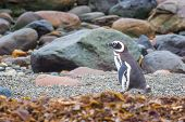 Постер, плакат: Penguin On Rocky Shore