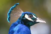 stock photo of indian blue  - A side view of an indian blue peacock.
