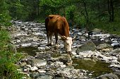 Cow is drinking water at rocky mountain stream