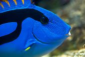 Palette surgeonfish - Pacific Blue Tang