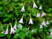 Twinflowers Up Close
