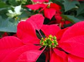 Poinsettia Close-up