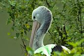 Australian pelican (Pelecanus conspicillatus)