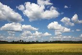 picture of rape-seed  - Beautiful yellow rape field on a background blue sky with clouds in Latvia - JPG