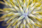 Pincushion Protea Flower (leucospermum Cordifolium), South Africa.