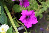 Purple Petunia Flower