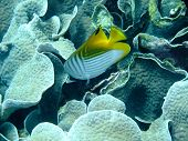 picture of angelfish  - Angelfish and coral  underwater off Manado in Indonesia - JPG