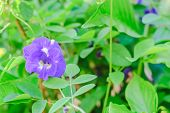 pic of butterfly-bush  - Butterfly pea flower medicinal herbs to treat disease  - JPG