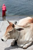 picture of gang  - Holy cow on Ganges river  Rajasthan India - JPG