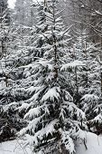 stock photo of blanket snow  - ever greens trees covered in blanket of winter snow - JPG