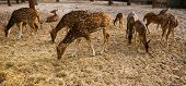 pic of bambi  - a small herd of young sika deer on the farm - JPG