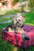 Yorkshire Terrier Sitting On Suitcase