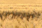 Barley Field Illuminated By Golden Light