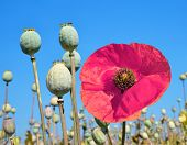 Poppy heads in field