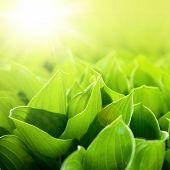 Fresh green flower leaves at sunlight