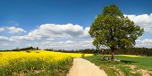 picture of crucifix  - way between rapeseed field and lime tree with crucifix - JPG