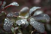 After the rain droplets on bushes