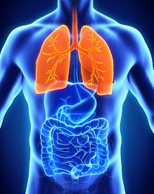 picture of respiratory  - Human Respiratory System Illustration  - JPG