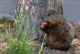 image of groundhog  - A groundhog Toronto Ontario  - JPG
